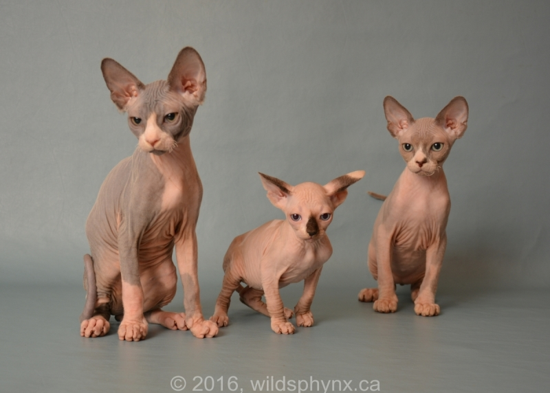 Photo de Wild Sphynx - Élevage de chats Sphynx